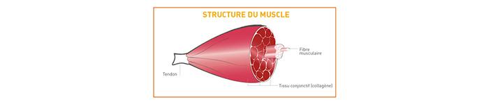 Structure du muscle de boeuf / Crédit photos : www.la-viande.fr