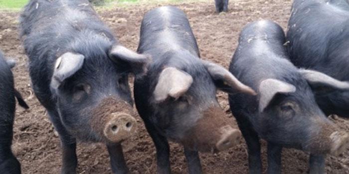 Porcs noirs Gascon